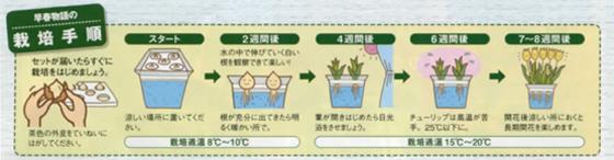 3月咲チューリップ水栽培セット