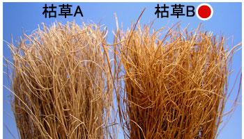 枯草B(右側)