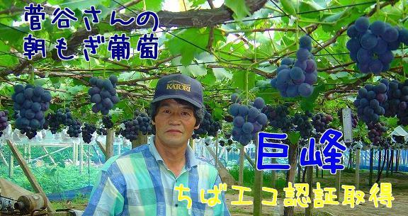 菅谷さんの朝もぎ葡萄・巨峰