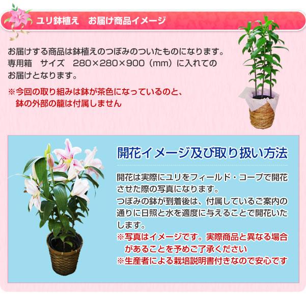 ユリの切花お届け商品イメージ。鮮度抜群のオリエンタルリリーを産地直送、送料無料でお届けします。お届けのユリは、大人が手を広げたくらいの立派な大輪の花を咲かせます。今回お届けのユリの鉢植えギフトは、1本につき3つ以上の花がつきかなりのボリュームがあります。大切な方やお世話になった方へのギフトには最適です。またご自分の観賞用としてもお楽しみ頂けます。ユリの切花が到着後は、付属しているご案内の通りに日照と水を適度に与えることで開花いたします。