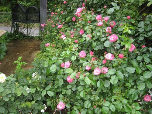 つるバラ アンジェラの咲き始め