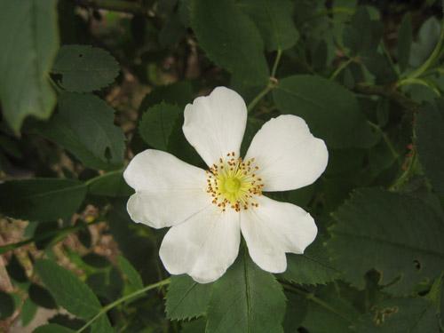 ドイツから来た 原種のバラ 名前は不明