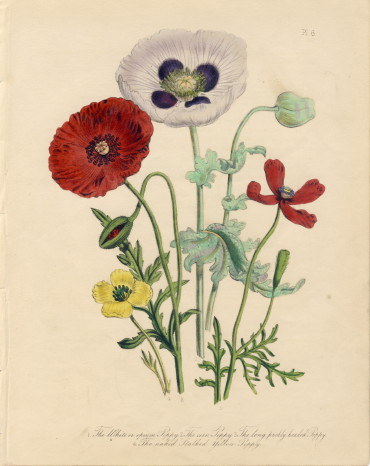 ラウドン Loudon 英国の野花 British Wild Flowers  ポピー poppy