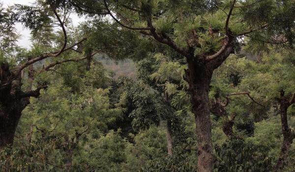 シェードツリーはグラビレアがメイン