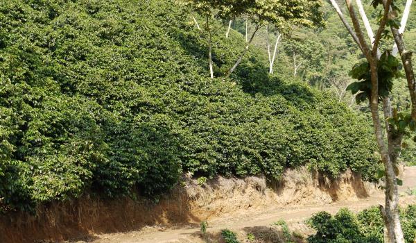 緑に見えるのはコーヒーの木(レッドカツアイ)