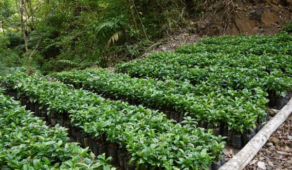 植え付け前のパッカマラ種