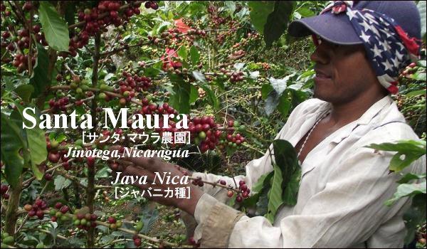 サンタ・マウラ農園 ニカラグア ジャバニカ種
