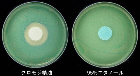 クロモジ精油抗菌力試験