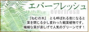 観葉植物エバーフレッシュ(ねむの木)特集はコチラ!