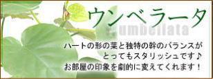 観葉植物ウンベラータ特集はコチラ!