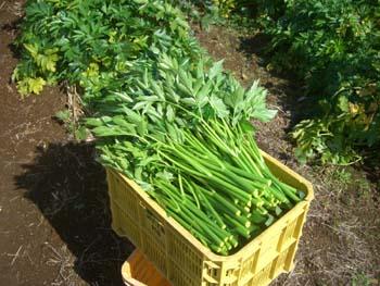 アシタバの収穫